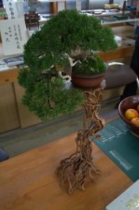 shimpaku shohin bonsai