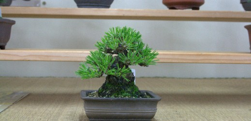 pin thunbergii chez Koji Hiramatsu shunshoen bonsai garden