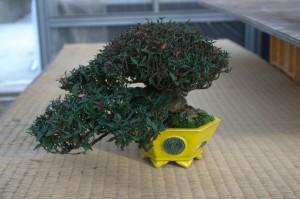 gardenia jasminoide bonsai - pot Horie Bikoh