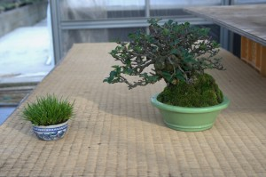 bonsai shohin - shunshoen
