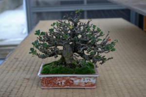 chaenomeles bonsai shunshoen shohin