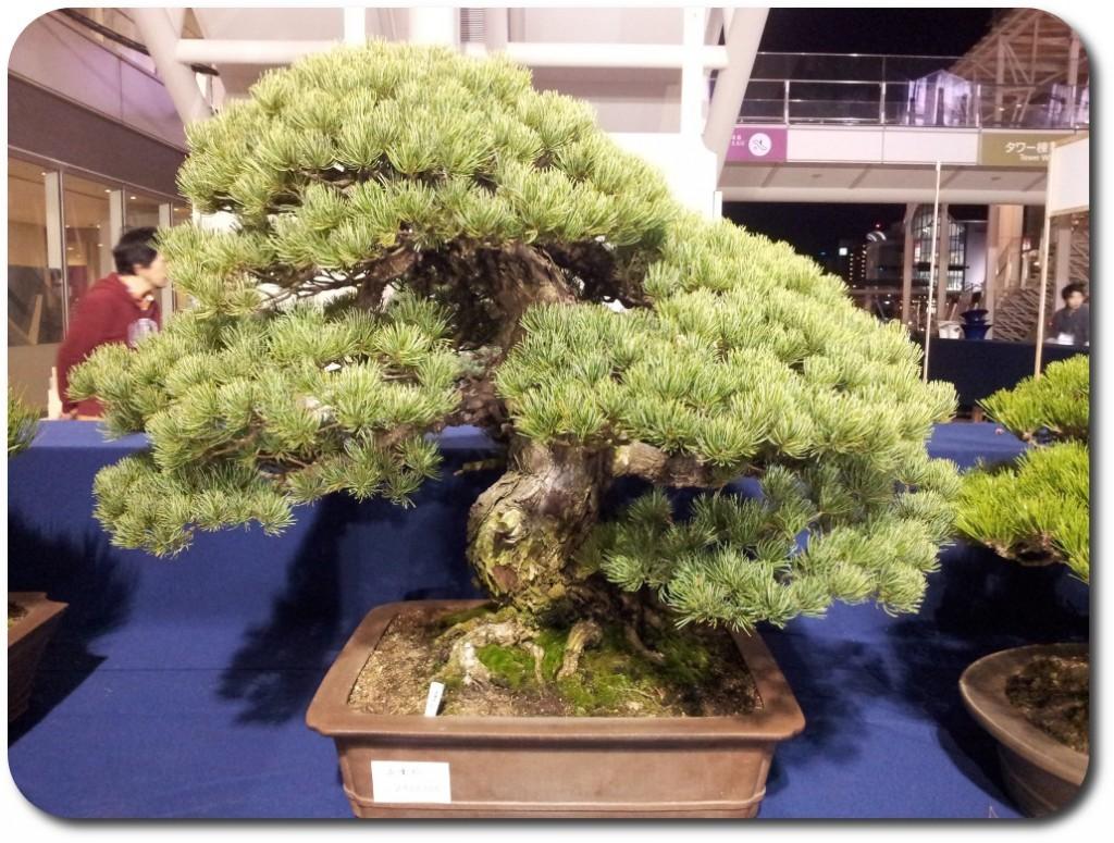 pinus pentaphylla bonsai 2 _ stand s-cube bonsai aspac 2011