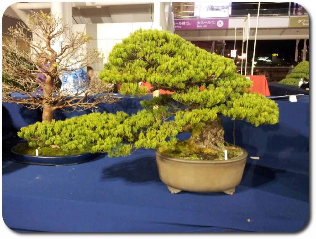 pinus pentaphylla bonsai _ stand s-cube bonsai aspac 2011