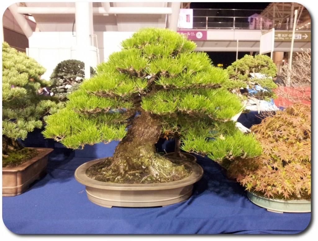 pinus thunbergii bonsai _ stand s-cube bonsai aspac 2011