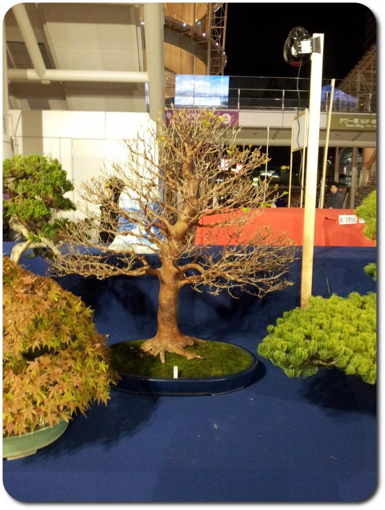 stewartia monodelpha bonsai _ stand s-cube bonsai aspac 2011