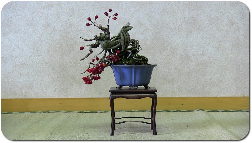 Bonsaï in Japan - update 21janv12 : video demonstration ASPAC Crataegus-bonsai-shohin-01