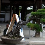 Album photo : bonsai pinus thunbergii