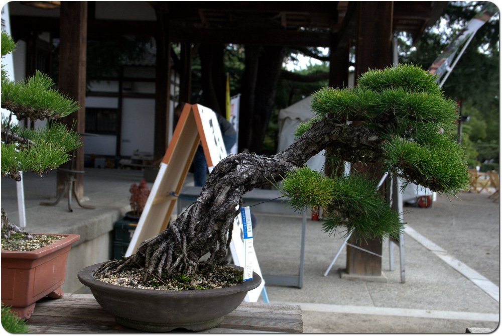 Bonsaï in Japan - update 21janv12 : video demonstration ASPAC Pin-noir00