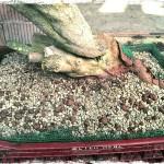 substrat pumice et akadama