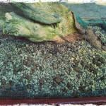 Rempotage d'un yamadori bonsaï de buxus