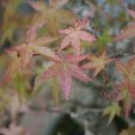 Rempotage d'un bonsai shohin – acer palmatum seigen