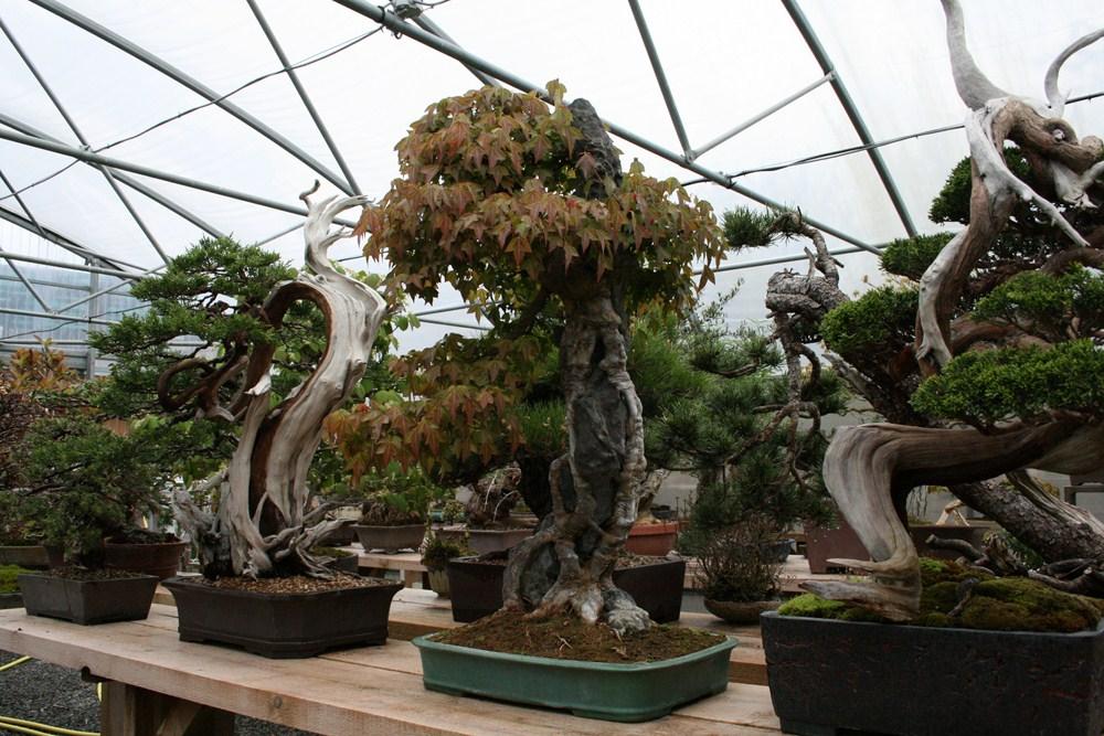 Bonsa san visite de p pini re en bourgogne for Bonsai artificiel grande taille