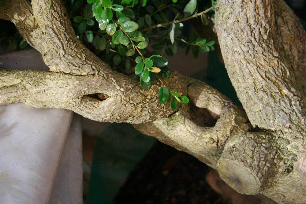 Détail du mouvement du tronc du buis