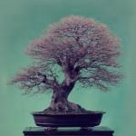 Revue du bonsaï web – août 2012 n°3