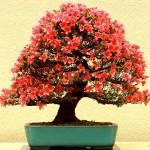 satsuki bonsaï