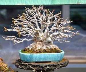 acer burgeranium bonsaï