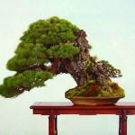juniperus ishitsuki