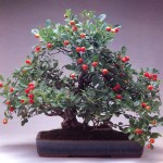 aubépine bonsai