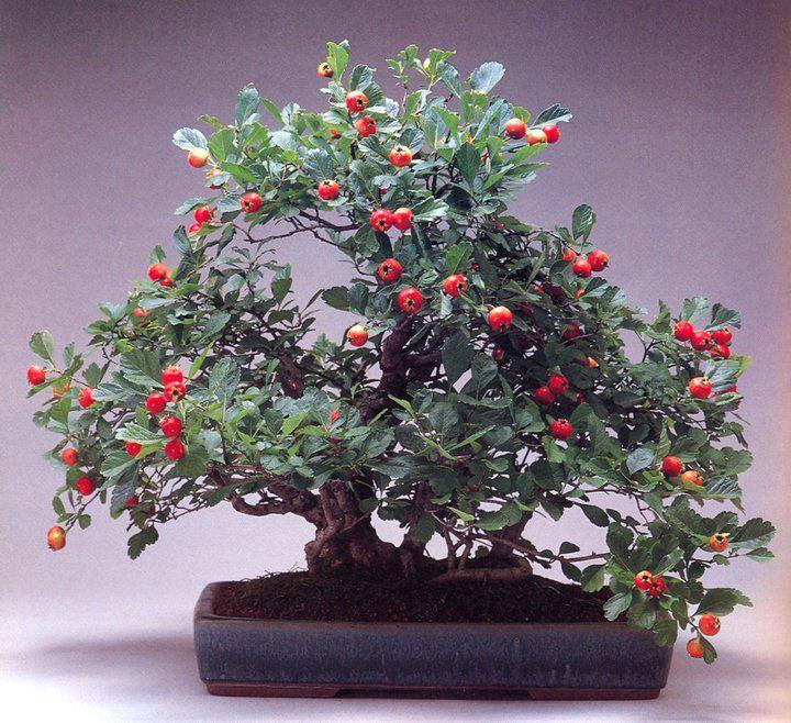 Revue du bonsai web septembre 2012 n 6 - Como cultivar bonsai ...