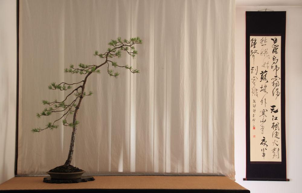 Bun Jin display-Pinus Silvestris