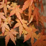 Les soins d'automne pour nos bonsai – séance club 06/10