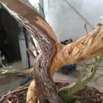 chee peng tan - si diao - juniperus 05