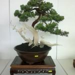 chee peng tan - si diao - juniperus