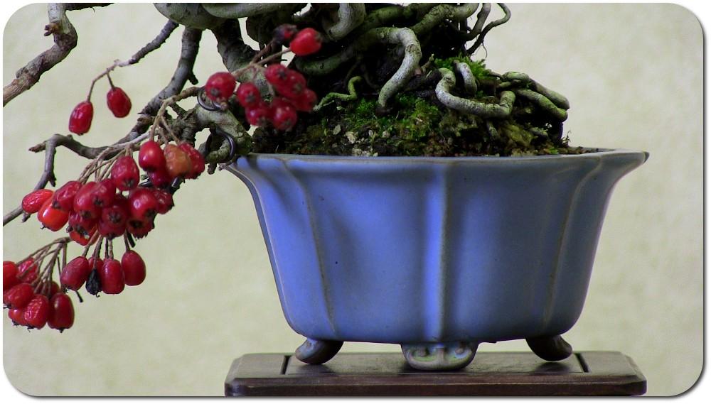 crataegus-bonsai-shohin-03