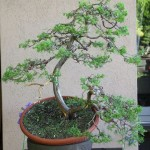 juniperus demonstrastion arco bonsai