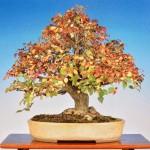 michael bonsai - bonsai couleurs automne 01