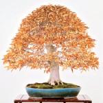 michael bonsai - bonsai couleurs automne 02