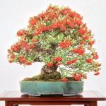 michael bonsai - bonsai couleurs automne