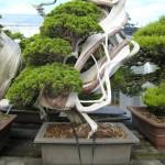 nipoweb bonsai 02