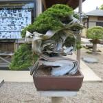nipoweb bonsai 03