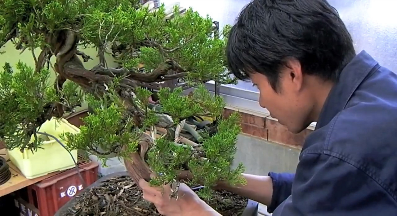 apprenti chez un maitre bonsai au japon - the bonsai art of japan