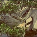 Atelier de bonsaï ASCAP – 17 & 18 novembre 2012