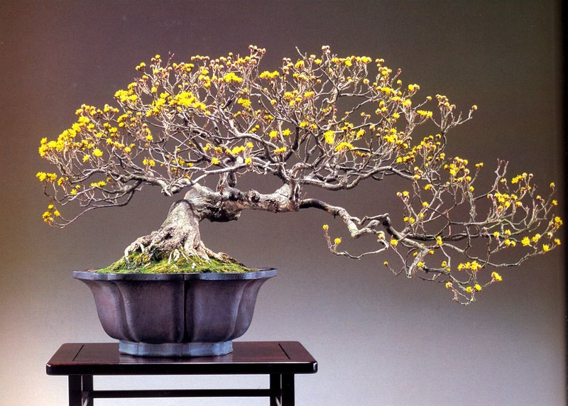bonsai masterpiece - tae kukiwon