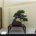 crespi cup 2012 - 07 - pin mugho bonsai