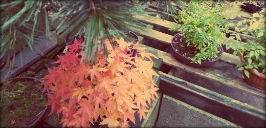 http://actubonsai.com/wp-content/uploads/2012/11/header-automne.jpg