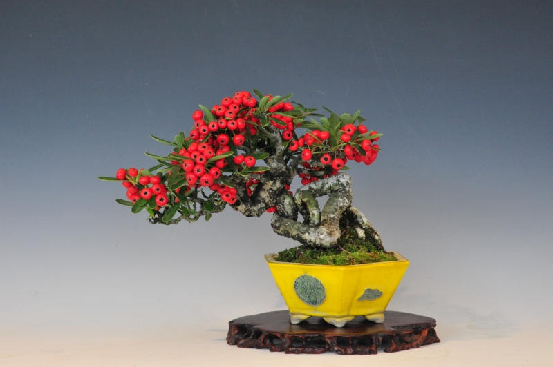 pyracantha 14cm - pot Horie Bikoh - propriétaire Beppu, Isao Kudo