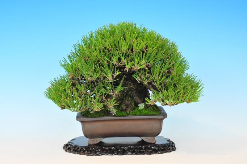 pin thunberg 19cm - pot terre violette shidei - propriétaire : Hiroshi Ozawa Hiroshima