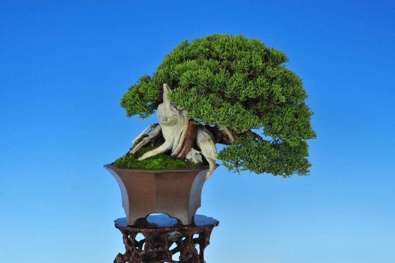 juniperus shimpaku 19cm - propriétaire Nakamura Motonobu Yatsushiro