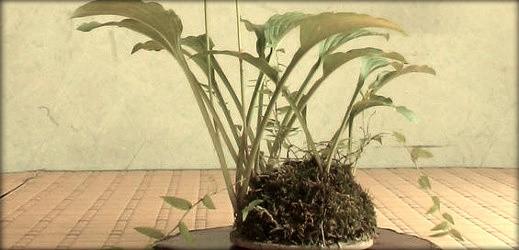 http://actubonsai.com/wp-content/uploads/2012/12/kusamono-shitakusa-hostas-519x250.jpg