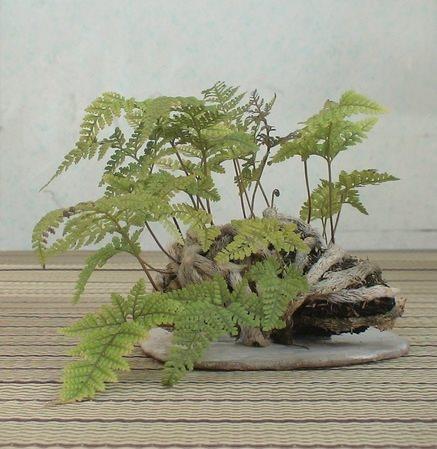 shitakusa fougere davallia canariensis 1