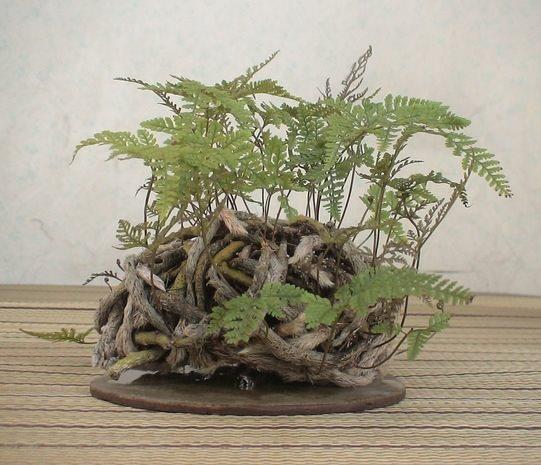 shitakusa fougere davallia canariensis