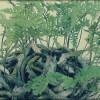 shitakusa fougere davallia canariensis - header