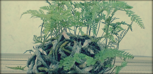 fougere davallia canariensis