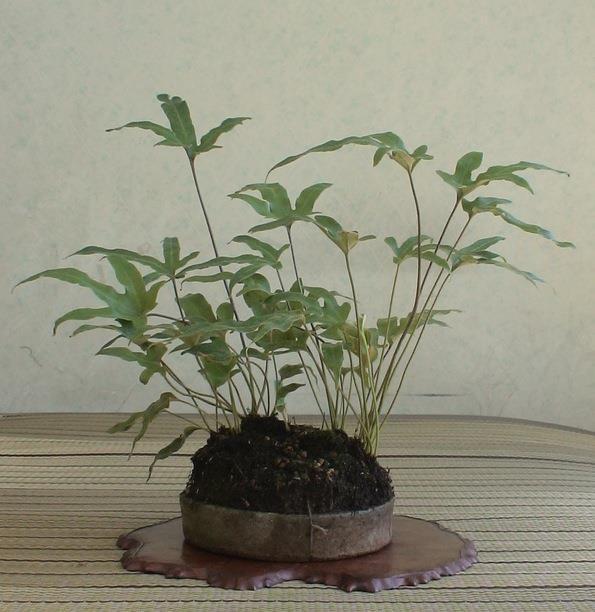 shitakusa fougere phlebodium aureum