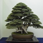 taikan ten - juniperus rigida