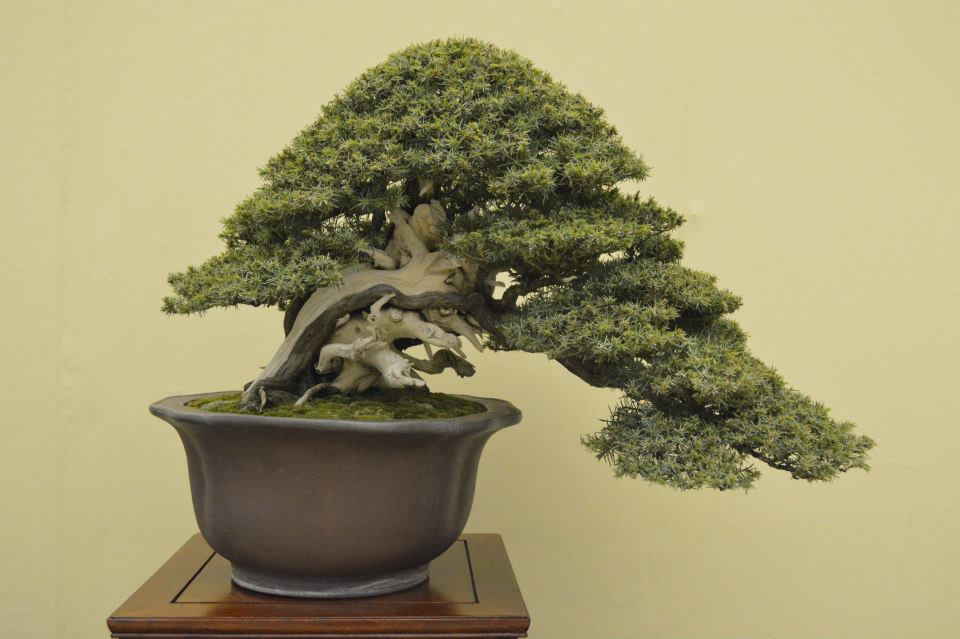 taikan ten 2012 - juniperus rigida
